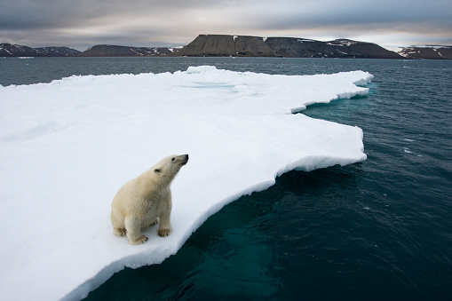 Polar Bear「Polar Bear on Melting Iceberg in the Svalbard Islands」:スマホ壁紙(9)
