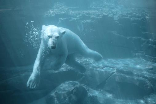 Polar Bear「Polar Bear - Swimming Underwater」:スマホ壁紙(12)