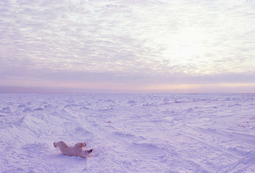 Polar Bear「Polar Bear Rolling in the Snow」:スマホ壁紙(14)