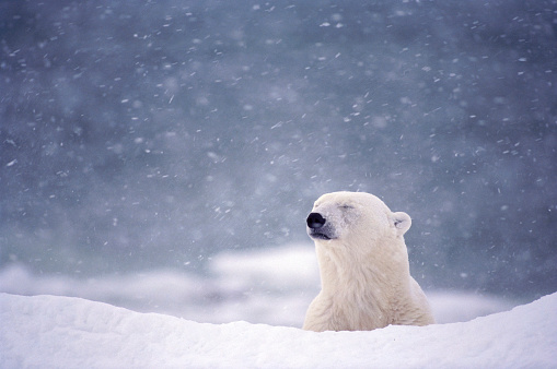 Polar Bear「Polar Bear in Blizzard near Hudson Bay」:スマホ壁紙(9)