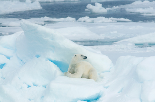 Polar Bear「Polar Bear (Ursus maritimus) Resting on pack ice, 81 degrees N., Svalbard, Arctic Norway」:スマホ壁紙(3)