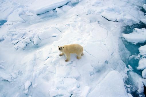 Polar Bear「Polar Bear (Ursus maritimus) on Sea ice, Svalbard, Arctic Ocean」:スマホ壁紙(11)