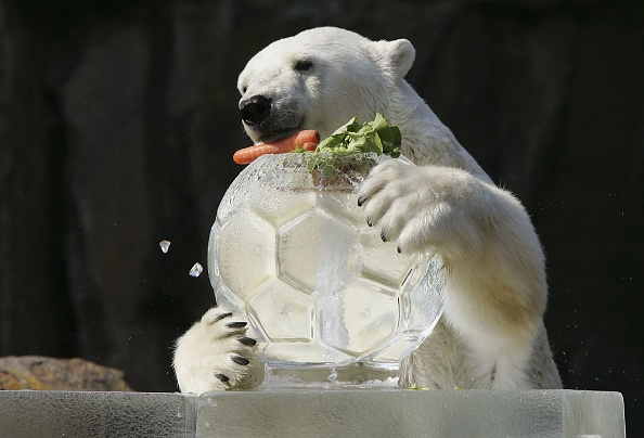 Cool Attitude「Polar Bears Get Their Meal In A Block Of Ice At Berlin Zoo」:写真・画像(5)[壁紙.com]