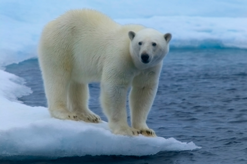 Polar Bear「Polar bear (Ursus maritimus) on ice floe」:スマホ壁紙(2)