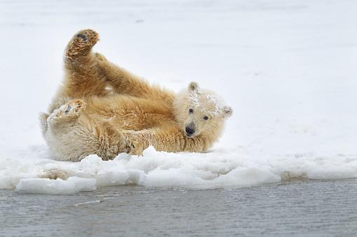 Polar Bear「Polar bear cub」:スマホ壁紙(4)
