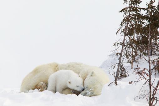 Polar Bear「Polar Bear (Ursus Maritimus) Cub Kisses Her Mother At Wapusk National Park」:スマホ壁紙(3)