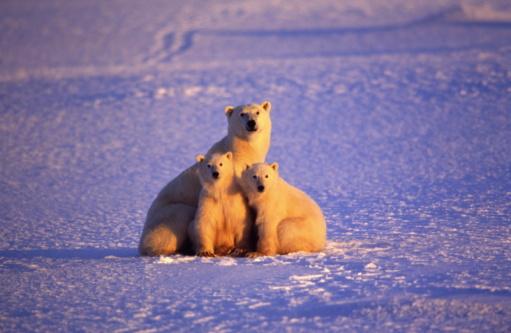 Polar Bear「Polar Bear with two cubs in frozen landscape, Canada」:スマホ壁紙(12)