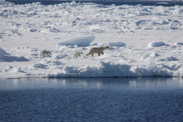 Polar bear with two cubs in arctic scenery, Spitsbergen.:スマホ壁紙(壁紙.com)