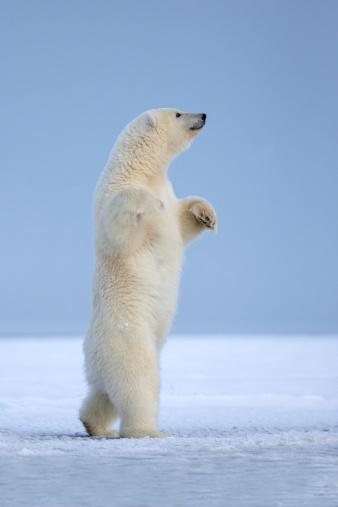 Arctic National Wildlife Refuge「Polar bear」:スマホ壁紙(1)