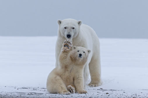 Bear Cub「Polar bear」:スマホ壁紙(2)
