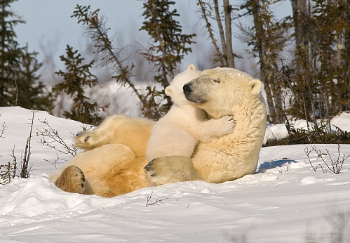 Polar Bear「Polar bear (Ursus maritimus)with cub」:スマホ壁紙(8)