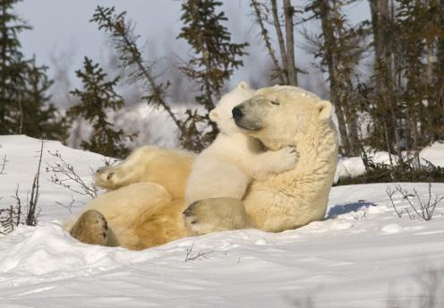 Bear Cub「Polar bear (Ursus maritimus)with cub」:スマホ壁紙(13)