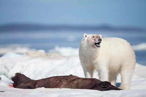 ガラス「Polar Bear Feeding on Walrus, Hudson Bay, Nunavut, Canada」:スマホ壁紙(13)