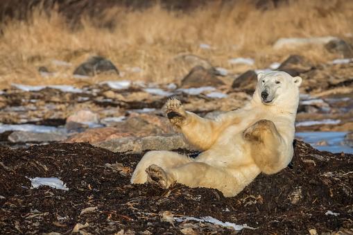 Polar Bear「Polar bear (ursus maritimus) doing sit ups along Hudson Bay, near Churchill」:スマホ壁紙(6)