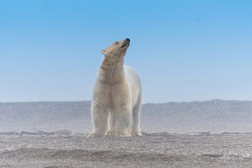 Kaktovik「Polar Bear」:スマホ壁紙(10)