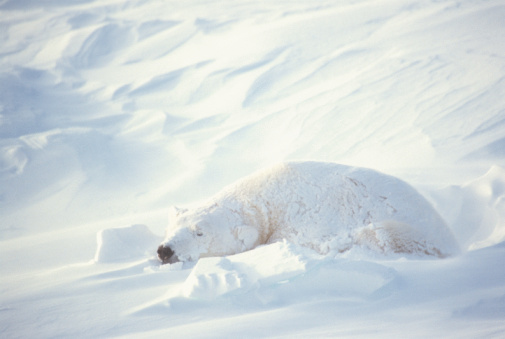 Polar Bear「Polar bear in the snow」:スマホ壁紙(17)