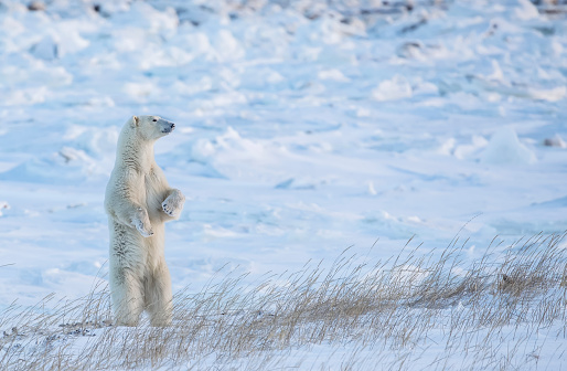 Polar Bear「Polar bear (Ursus maritimus) standing in the snow looking beautiful」:スマホ壁紙(0)