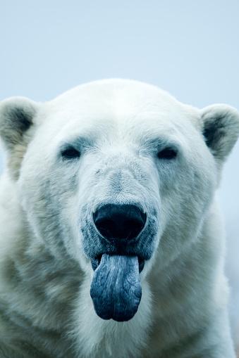 Making A Face「Polar Bear closeup portrait」:スマホ壁紙(3)