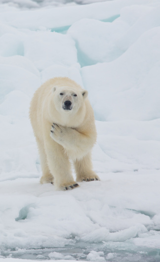 Polar Bear「Polar bear with a paw across its chest」:スマホ壁紙(15)
