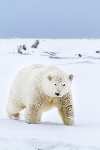 Arctic National Wildlife Refuge「Polar bear」:スマホ壁紙(13)