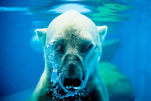 Holding Breath「Polar Bear Exhaling Underwater」:スマホ壁紙(2)