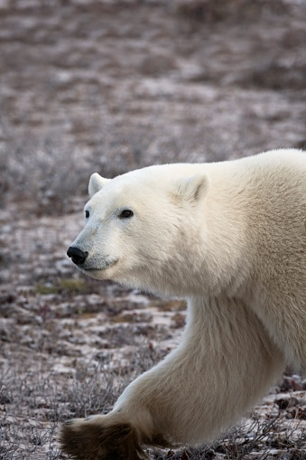 一匹「Polar Bear Walking, Churchill, Manitoba, Canada」:スマホ壁紙(5)