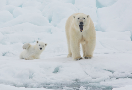 Bear Cub「Polar Bear Sow with Young Cub High Arctic Norway」:スマホ壁紙(11)