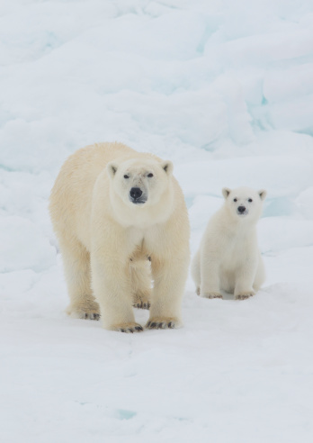 Pack Ice「Polar Bear Sow with Young Cub High Arctic Norway」:スマホ壁紙(12)