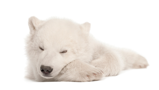 Polar Bear「Polar bear cub sleeping」:スマホ壁紙(14)