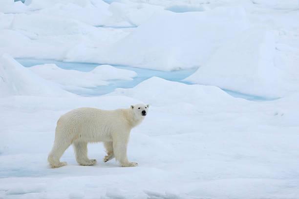 A polar bear wandering in the Arctic ice:スマホ壁紙(壁紙.com)