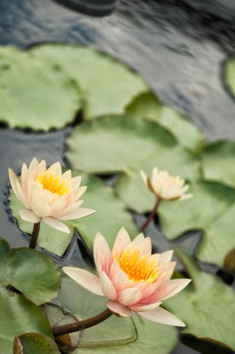 Water Lily「Dayflowering Waterlily 'Comanche'」:スマホ壁紙(16)
