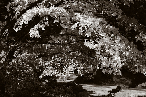 Japanese Maple「Pathway to heaven」:スマホ壁紙(7)