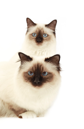 ビルマネコ「Studio shoot of two Birman cats」:スマホ壁紙(3)