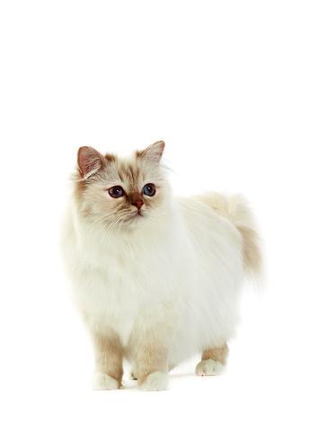 ビルマネコ「Studio shoot of Birman cats」:スマホ壁紙(3)