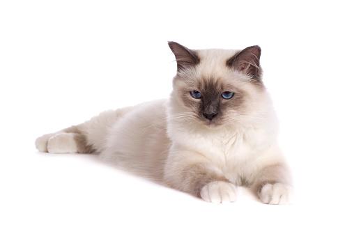 ビルマネコ「Studio shoot of Birman cats」:スマホ壁紙(17)