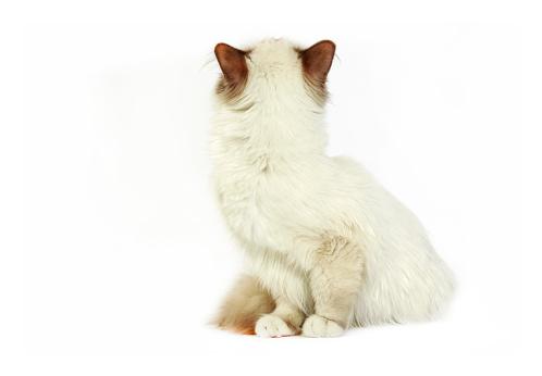 ビルマネコ「Studio shoot of Birman cats」:スマホ壁紙(18)