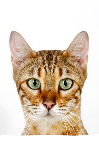 ベンガル猫「Studio shoot of Bengal cats, white background」:スマホ壁紙(16)