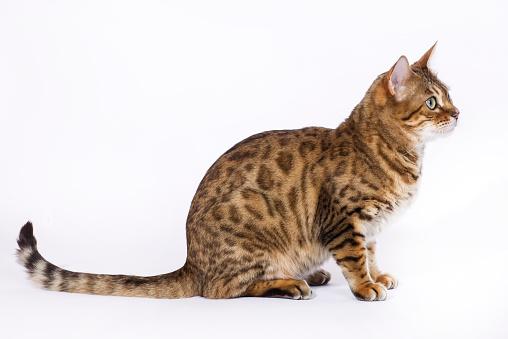 ベンガル猫「Studio shoot of Bengal cats, white background」:スマホ壁紙(1)