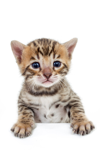 カメラ目線「Studio shoot of Bengal cats, white background」:スマホ壁紙(3)
