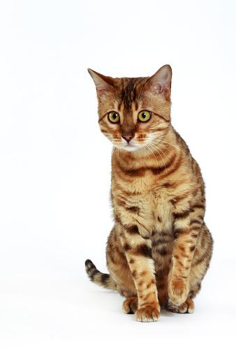 ベンガル猫「Studio shoot of Bengal cats, white background」:スマホ壁紙(17)