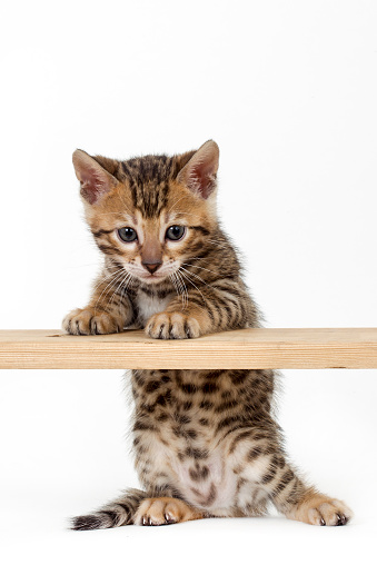 ベンガル猫「Studio shoot of Bengal cats, white background」:スマホ壁紙(6)