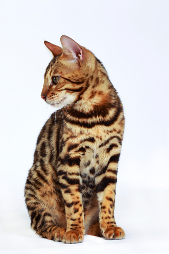 ベンガル猫「Studio shoot of Bengal cats, white background」:スマホ壁紙(13)