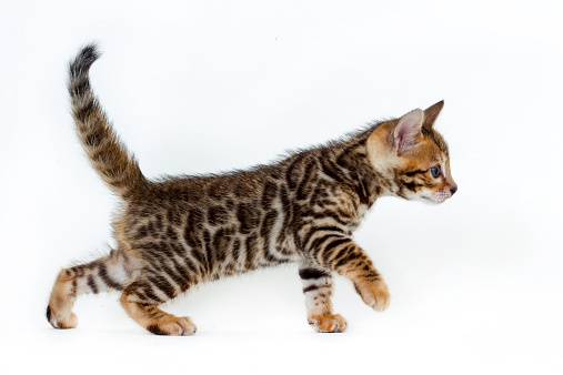 Walking「Studio shoot of Bengal cats, white background」:スマホ壁紙(9)