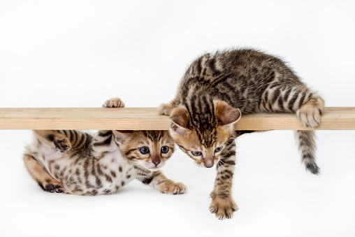 ベンガル猫「Studio shoot of Bengal cats, white background」:スマホ壁紙(4)