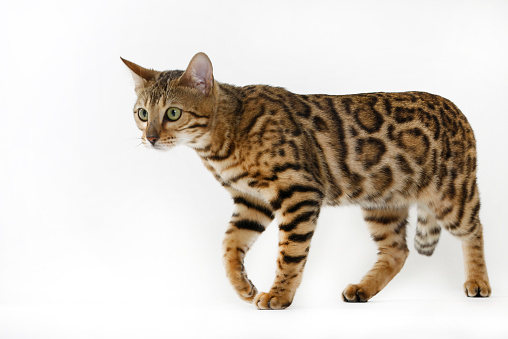 ベンガル猫「Studio shoot of Bengal cats, white background」:スマホ壁紙(15)