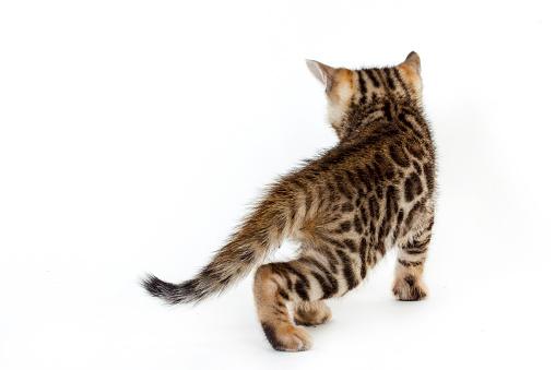 ベンガル猫「Studio shoot of Bengal cats, white background」:スマホ壁紙(16)
