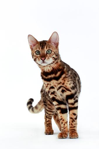 ベンガル猫「Studio shoot of Bengal cats, white background」:スマホ壁紙(10)
