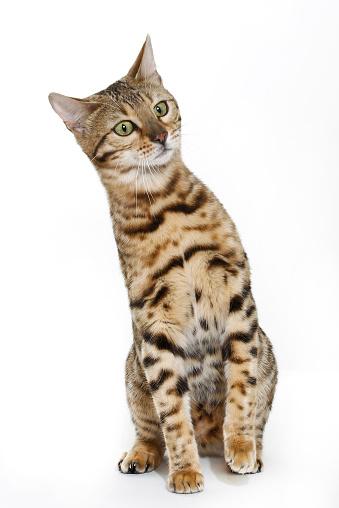 Green Eyes「Studio shoot of Bengal cats, white background」:スマホ壁紙(16)