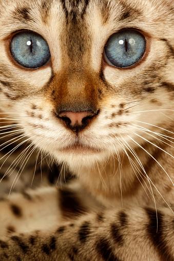 ベンガル猫「Studio shoot of Bengal cats, white background」:スマホ壁紙(12)