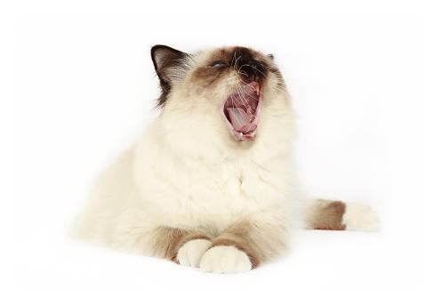 ビルマネコ「Studio shoot of a yawning Birman cat」:スマホ壁紙(11)